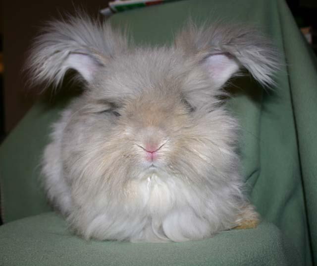 english angora rabbits - photo #17