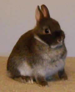 Chocolate Silver Fox Rabbit 50843 | MEDIABIN