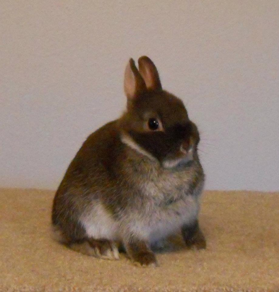 Blue Silver Marten Rabbit | www.imgkid.com - The Image Kid ...