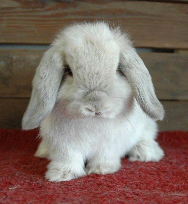 Adult Holland Lop 39