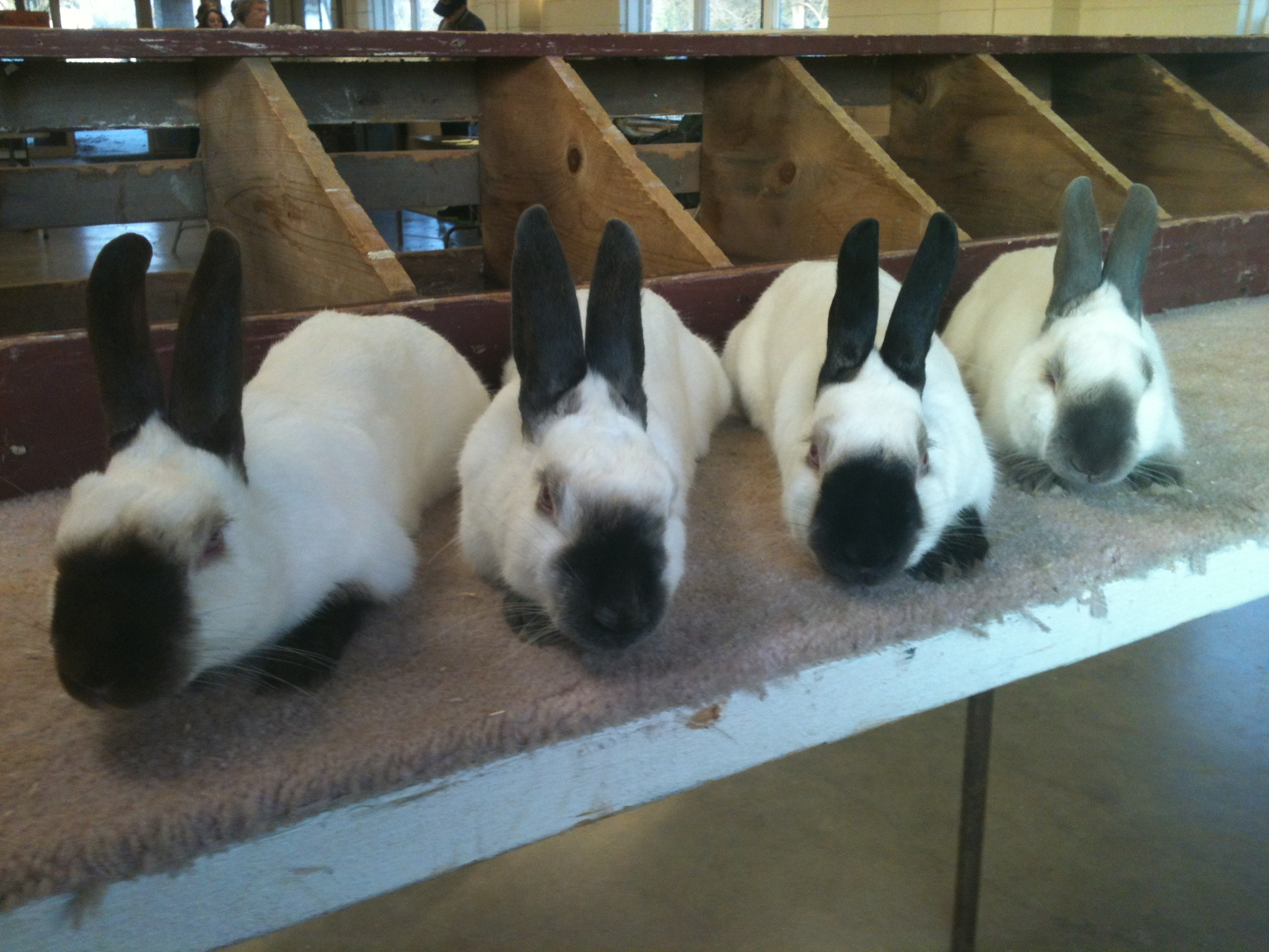 Holland Lop Colors Pointed White