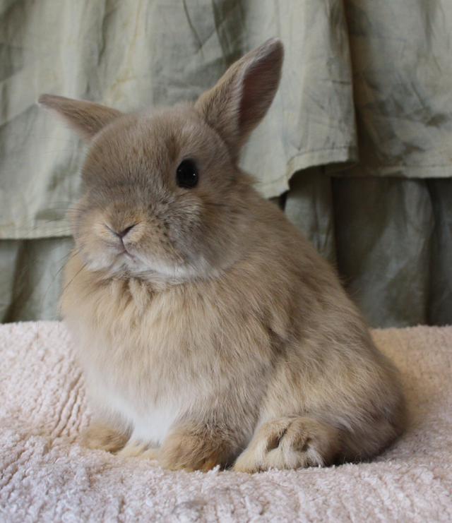 netherland dwarf kit color guide