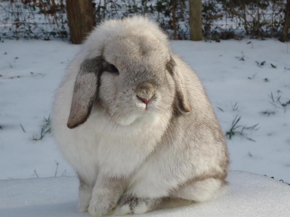 Holland Lop Colors Wideband